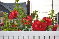 Red Hibiscus Against White Fence