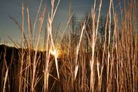 Golden Grass in Sunset