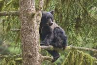 Black Bear Cub in Tree at Anan Creek