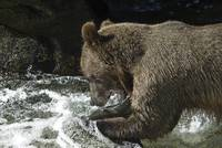Brown Bear Fishing at Anan Creek, Alaska