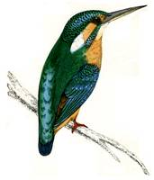 Kingfisher_MOR