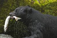 Black Bear Salmon Fishing Two