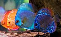 4 small fish with orange and blue