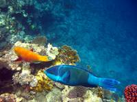 2 small fish with orange and blue