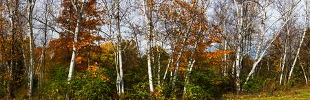 Strand of Birch Trees in Autumn