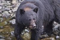 Brown Eyed Black Bear, Kake, Alaska