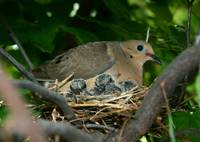 Mourning Dove Family