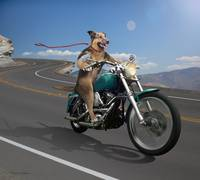 German Shepard Dog Riding a Motorcycle