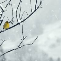 Winter Snow, with a Touch of Goldfinch for Color by Laura Mountainspring