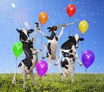 Holstein cows dance party in grassy sunny meadow