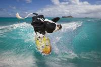 Surfing Holstein cow riding ocean wave in Hawaii