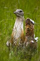 Great Bustard (Otis tarda) in Hungary