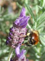 Lavender's Busy Bee