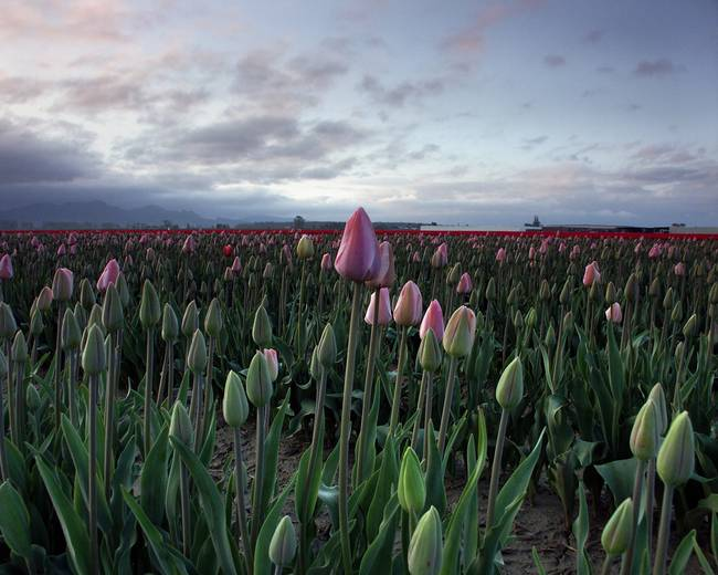 Tulips in Skagit Valley Washington