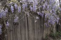 Wisteria and Old Building