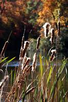 Cat Tails in Fall