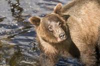 Closeup of Fishing Brown Bear, Anan Creek, Alaska