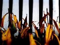 Fence & Yellow Leaves