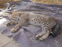 SAMMY the cheetah cub