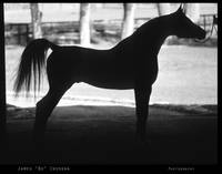 Arabian Horse Silhouette  Black and White