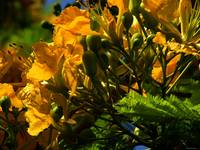 Yellow Poinciana