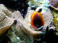 Clown Fish in Bed of Coral