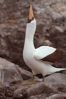 Nazca Booby Courting