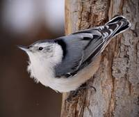 White Breasted Nuthatch - 2
