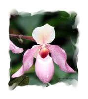 25 - Orchid