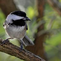 Cute Little Bird, a Black Capped Chickadee II by Laura Mountainspring