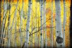 Aspens in LCC ls shot zoom