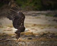 Bald Eagle at Anan Creek II