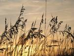 Sea Oats at Sunset