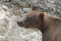 Brown Bear Portrait, Anan Creek