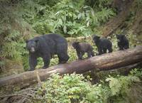 Black Bear Mama and Three Cubs, Anan Creek, Alaska