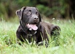 Chocolate Labrador Relaxing in Lush Grassland