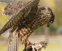 Peregrine Falcon Eating Quail