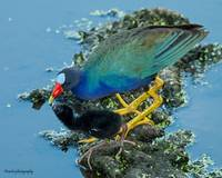 Purple Gallinule w/ Chick