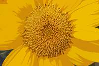 Sunflower Cut-Out