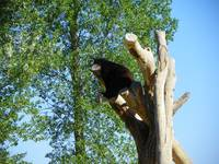 Bear Chilling On A Tree