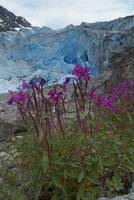 Dwarf Fireweed and Glacier, Alaska