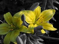 Yellow Lily- Black and White