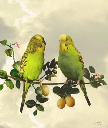 Budgerigars in Kumquat Tree
