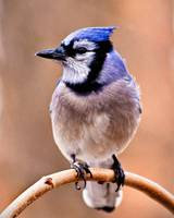 Portrait of a Blue Jay