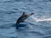 D-42 Long Beaked Common Dolphin
