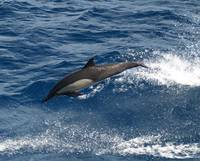 D-43 Long Beaked Common Dolphin