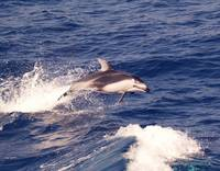 D-46 Pacific White Sided Dolphin