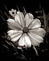 Cosmos In Black And White