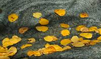 Aspen Leaves on Granite, High Sierras