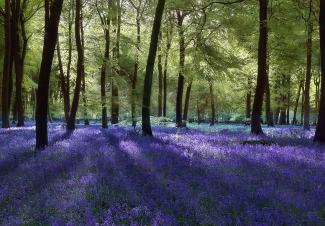 Evening Bluebells